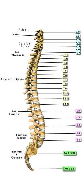 spine-vertebrae-phoenix-chiropractor